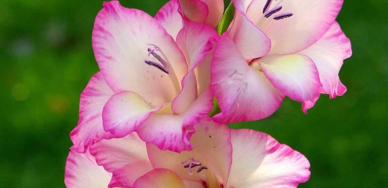 Гладиолус по цветочному гороскопу