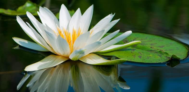 Кувшинка по цветочному гороскопу