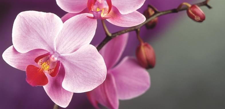 Орхидея по цветочному гороскопу