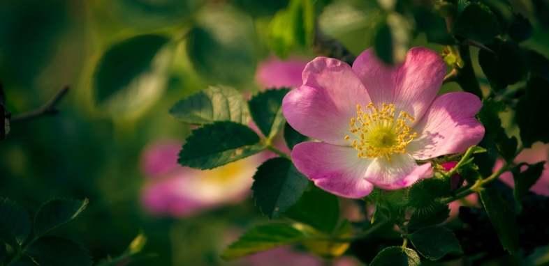 Шиповник по цветочному гороскопу
