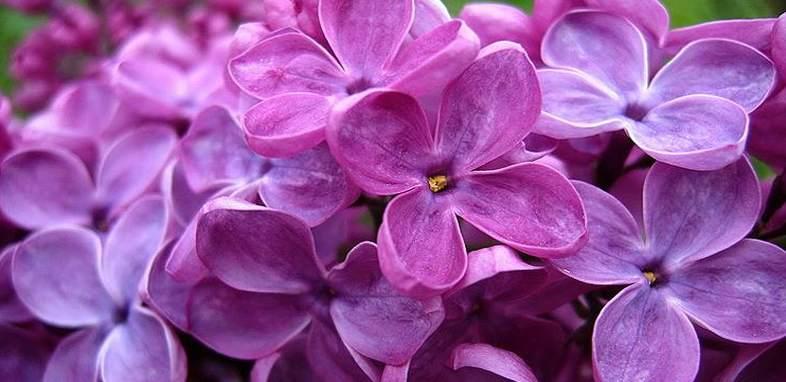 Сирень по цветочному гороскопу