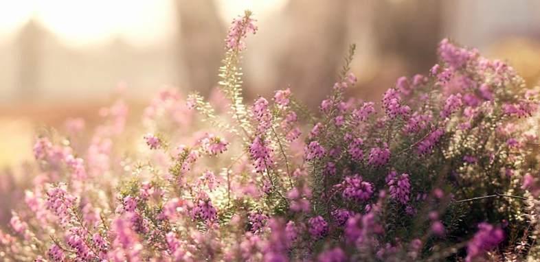 Вереск по цветочному гороскопу