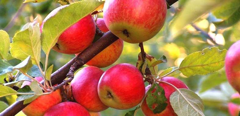 Яблоня по гороскопу друидов
