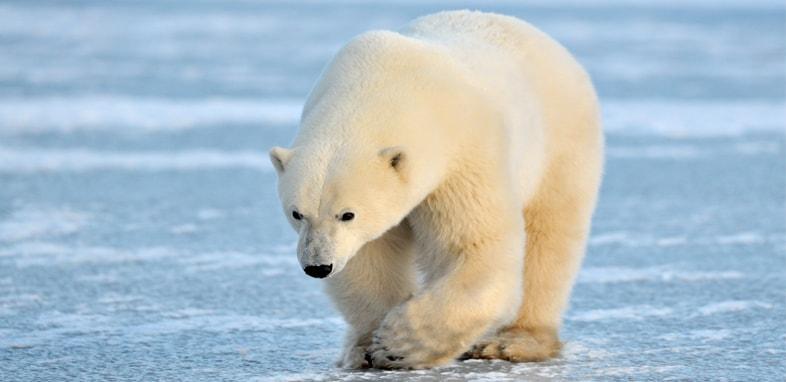 Белый медведь по зороастрийскому гороскопу