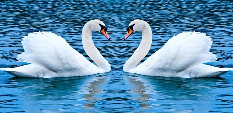 Лебедь по зороастрийскому гороскопу